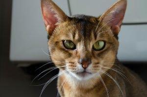 tabby cat looking at camera