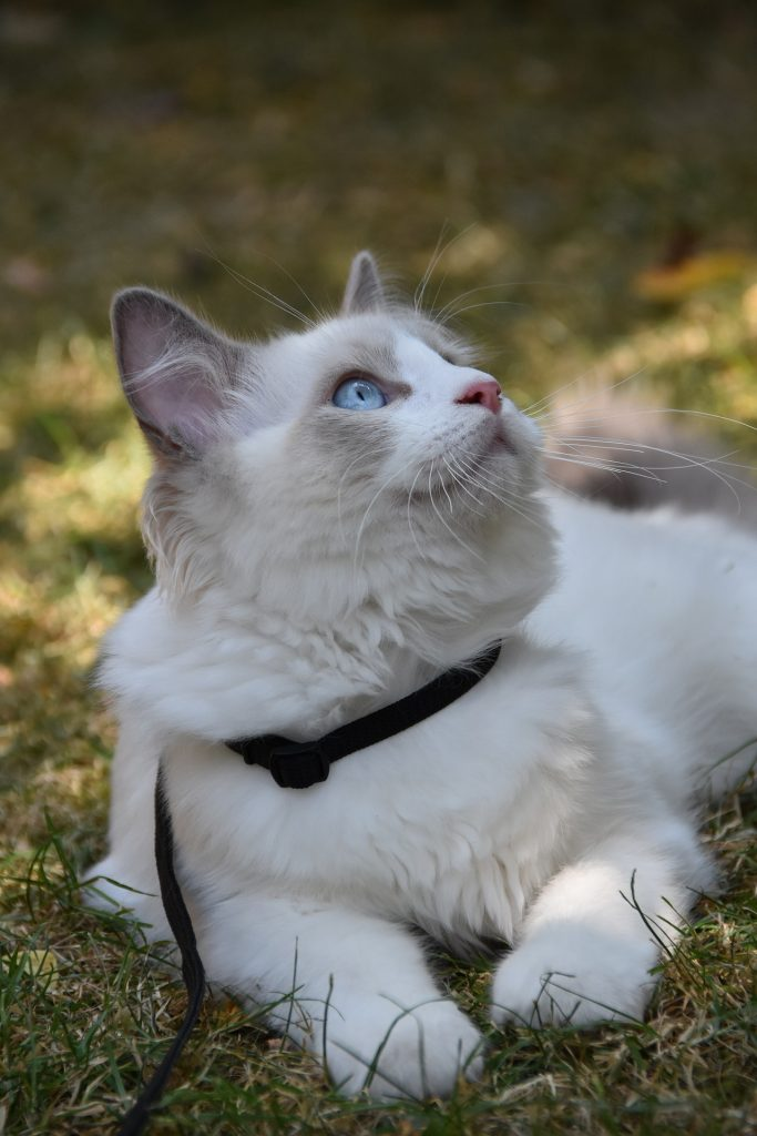 ragdoll cat wearing a collar