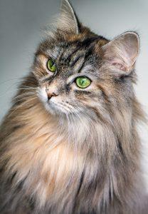 Curious long haired tabby