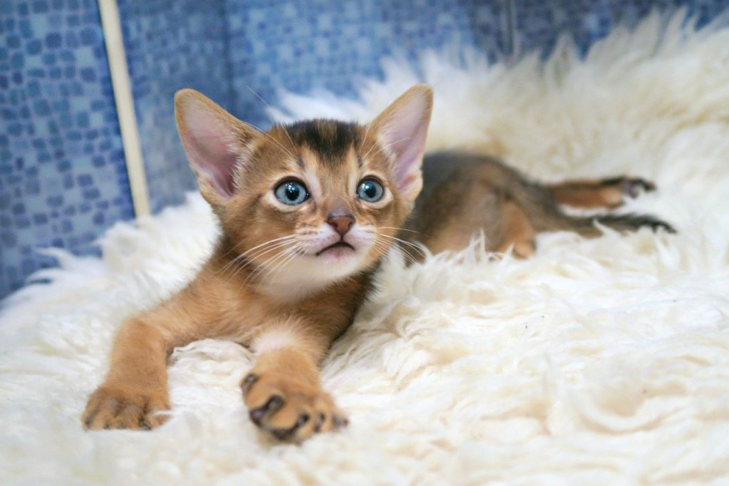 abyssinian kitten on a blanket