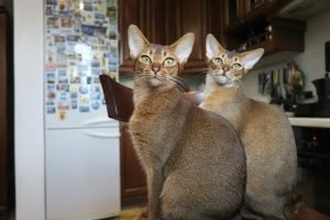 abyssinian cats sitting together