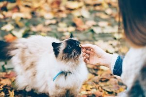 Balinese cat sniffing a finger (wearing a collar)