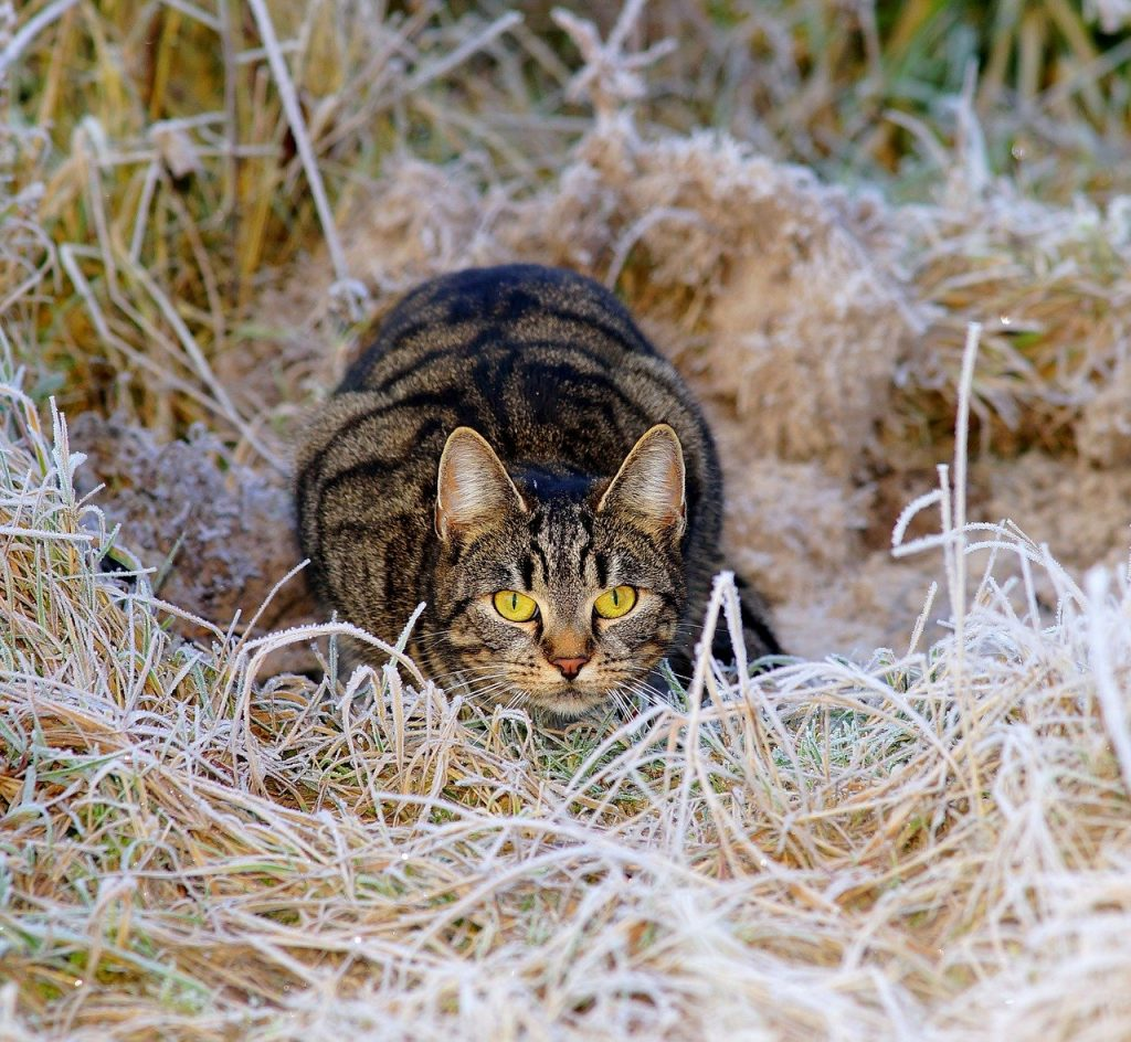 Dark tabby in hay ready to pounce
