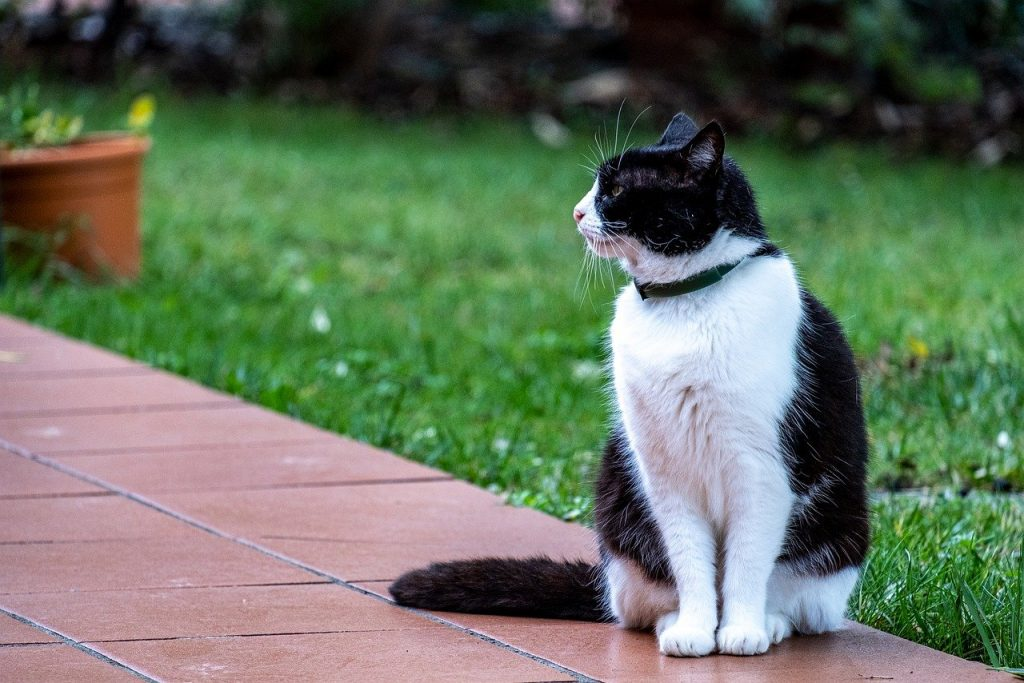 Tuxedo cat sitting on walkway wearing collar