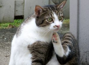 Tabby/white cat outside scratching chin