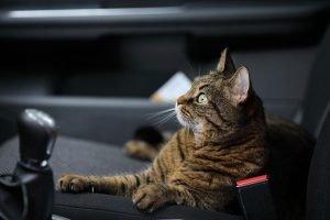 cat lounging in a car