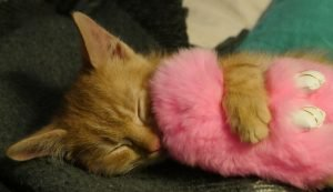 ginger kitten sleeping with pink fuzzy toy