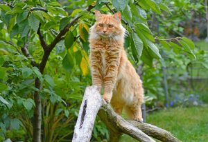 Maine Coon cat - ginger, standing on log