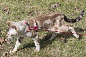 bengal cat walking-harness, leash