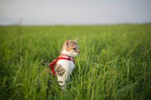 cat in field wearing harness-side view