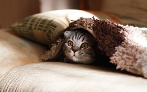 cat peeking out from blanket