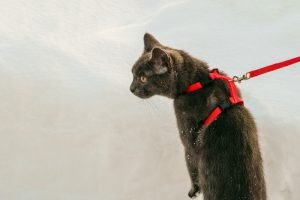cat wearing H-harness & leash