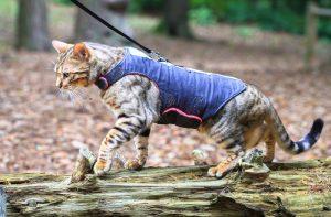 cat wearing blue jacket harness