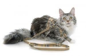 cat wearing plaid vest harness
