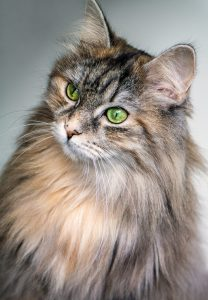 curious cat - maine coon?
