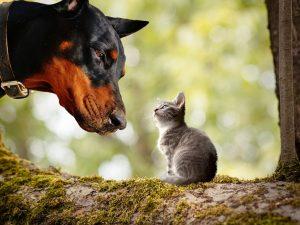 doberman dog and tabby kitten