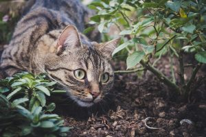 hunting tabby cat