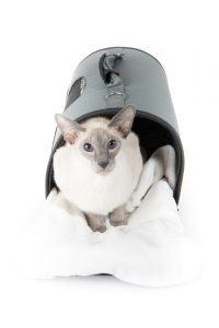 oriental cat in carrier