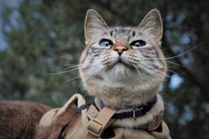 tabby cat wearing harness
