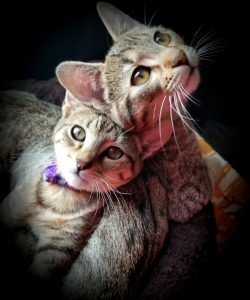 Rocky & Lexi - Egyptian Mau brother & sister (from Jodi Wagner)