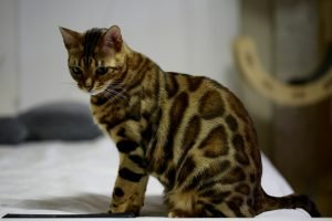bengal-cat-spotted