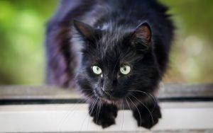 black cat watching prey intently