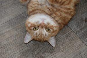 ginger tabby lying on floor on his back