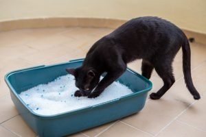 cat sniffing silica litter in box