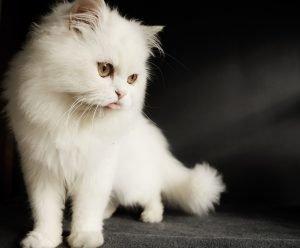 persian cat-white