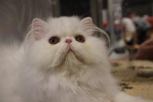 persian cat-white facing forward
