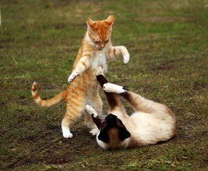 siamese, ginger cats fighting (2)