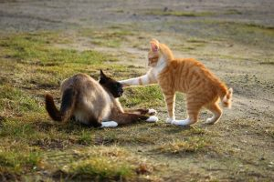 siamese, ginger cats fighting