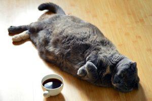 fat cat on floor