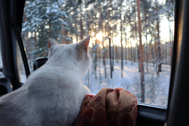 white cat looking out car window