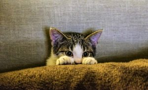 kitten peeking out from cushion