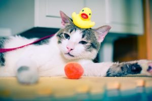 cat with rubber ducky on head