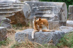 ginger tabby cat on rock grooming